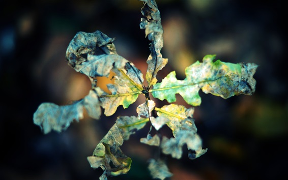 Обои Сухой лист макро фотография, осень, боке