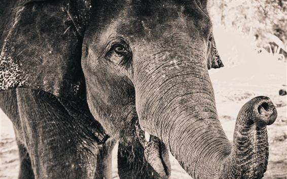 Fondos de pantalla Trompa de Elefante