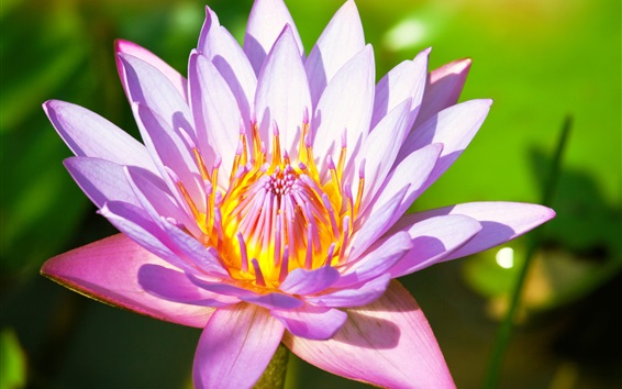 Wallpaper Flower macro photography, water lily, pink petals