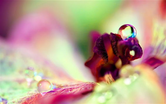 Wallpaper Flower petals macro photography, water drops