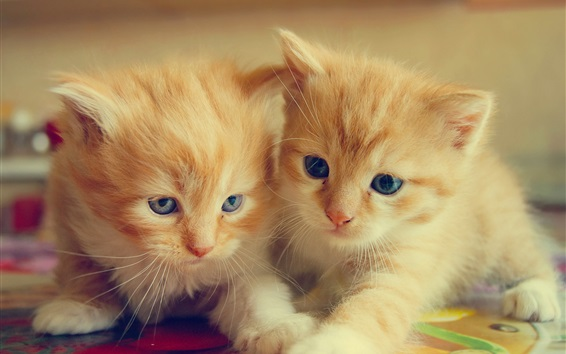 Wallpaper Furry kittens, two cats