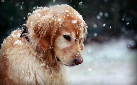 Papéis de Parede Golden Retriever no inverno, cão bonito, neve