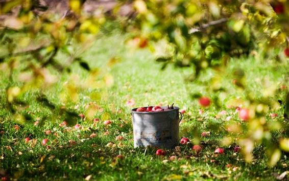Обои Урожай фруктов, яблоки, ведро, лето, лужайка, дерево