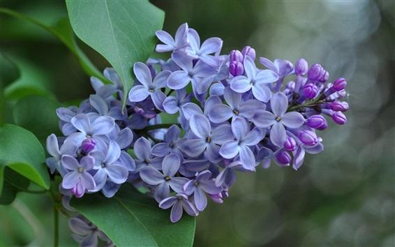 Wallpaper Lilac flowers, inflorescence, purple petals