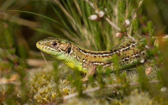Papéis de Parede Lizard close-up, grama, bokeh