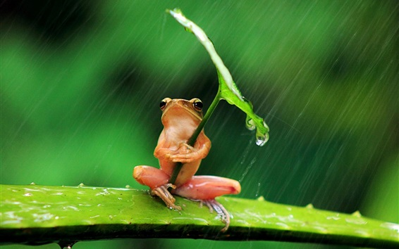 배경 화면 외로운 개구리, 비, 잎, 물