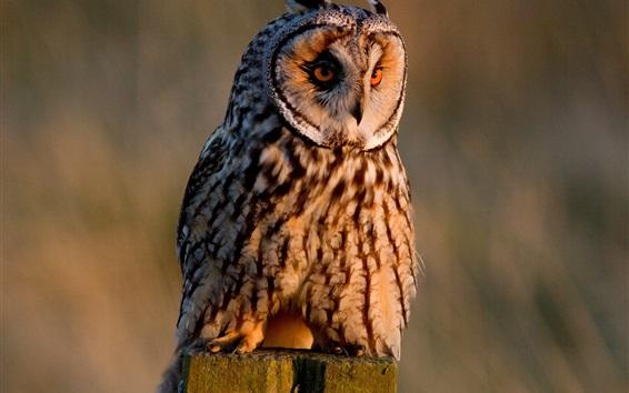 壁紙 長い耳を持ったフクロウ、鳥の写真撮影