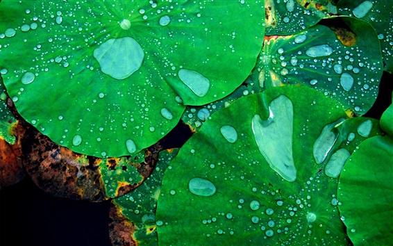 Обои Листья лотоса, капли воды