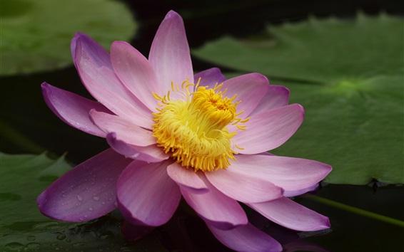Wallpaper Lotus macro photography, pink petals, pistil, pond, water