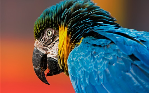 Wallpaper Macaw, parrot, bird close-up, beak, blue feathers
