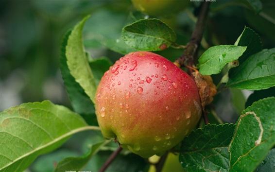 Fondos de pantalla Una manzana fresca en los árboles, las gotas de agua
