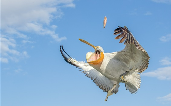 Wallpaper Pelican catch fish, wings, sky