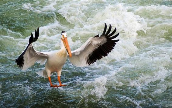 Обои Пеликан, крылья, птица крупным планом, вода волны