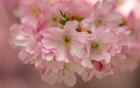 Wallpaper Pink cherry flowers, bloom, macro photography