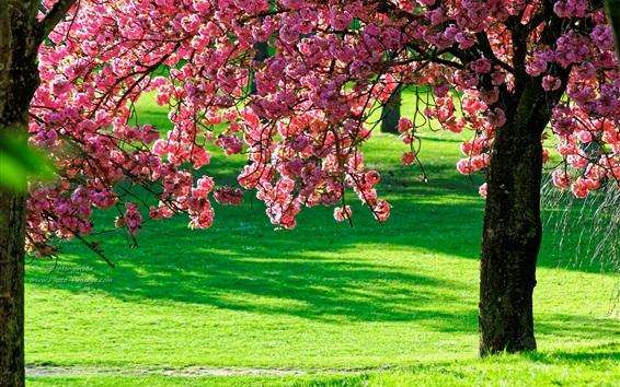 Fondos de pantalla flores rosados del árbol, hierba verde