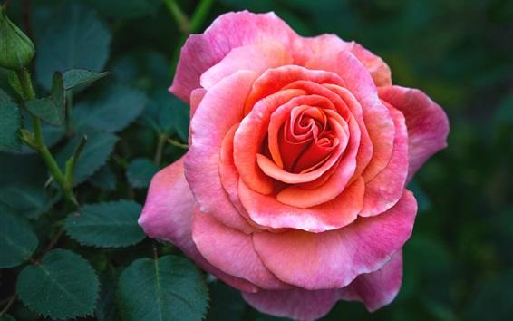 배경 화면 핑크 근접, 꽃잎, 나뭇잎 장미