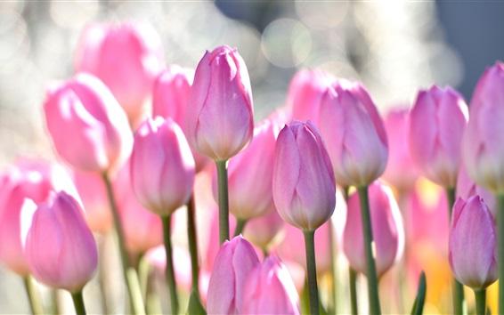 Wallpaper Pink tulips, flowers field, bokeh