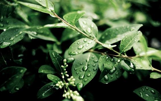 Wallpaper Plants, after rain, green leaves, water drops