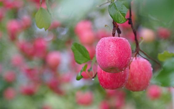 Обои Красные яблоки, после дождя, дерево, ветки, капель воды