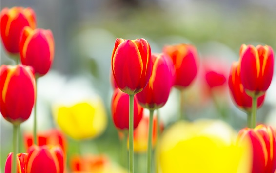 Wallpaper Red tulip flowers macro photography, blurry background