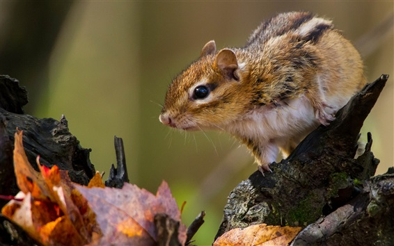 Wallpaper Rodent, chipmunk, leaves, autumn
