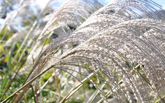 Обои Серебряная трава