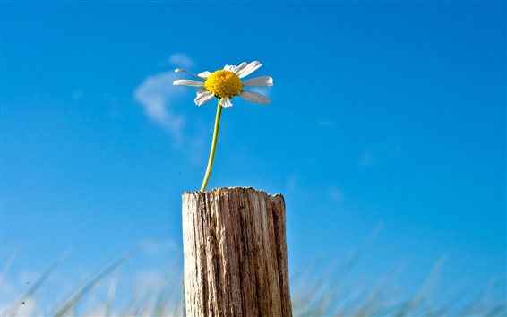 Wallpaper Single flower chamomile, blue sky, stump
