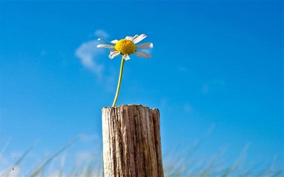 Fond d'écran fleur unique camomille, ciel bleu, souche