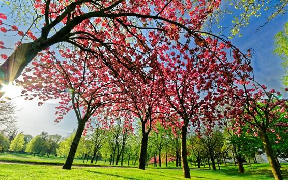 Fond d'écran arbre fleurs de printemps, rose, fleur, herbe verte