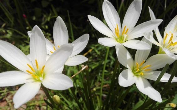 Fond d'écran Été fleurs d'orchidée blanche, pétales, soleil