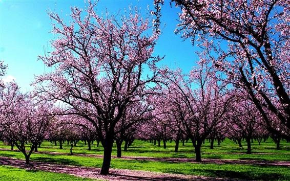 Fond d'écran fleurs d'arbres, monde rose, ressort
