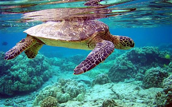 Wallpaper Turtle swim, coral, underwater