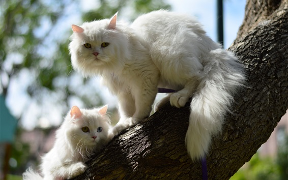 Wallpaper Two white cats in tree