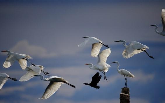 Papéis de Parede vôo do guindaste branco, pássaros no céu