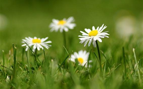 Fondos de pantalla pétalos de la margarita blanca, hierba, difuminando