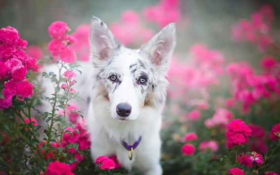 Wallpaper White dog in the red flowers field