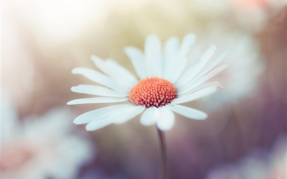Wallpaper White flower macro photography, bokeh