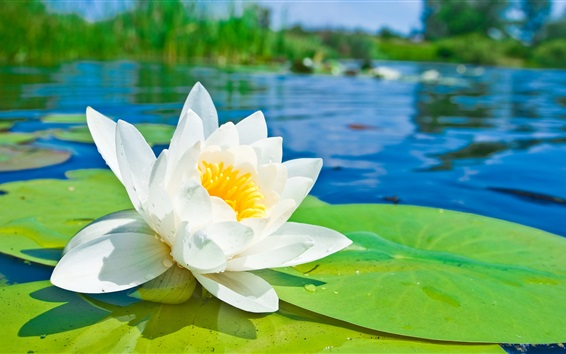 Wallpaper White lotus flower macro photography, green leaves, pond, water