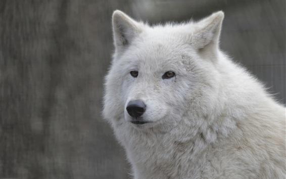 Fond d'écran loup blanc close-up, visage, portrait