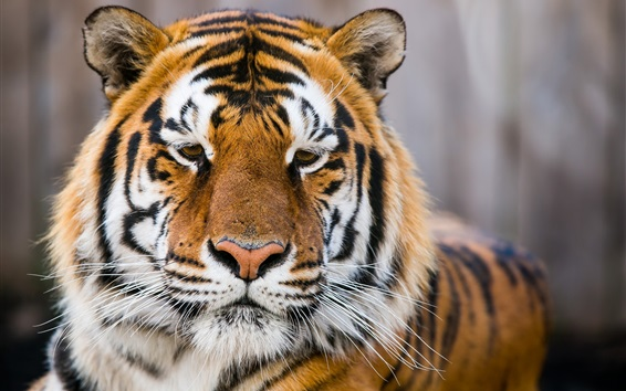 Wallpaper Amur tiger close-up, wild cat, predator, bokeh