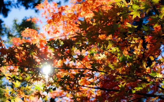 Fond d'écran Automne, feuilles d'érable, rouge, lumière du soleil