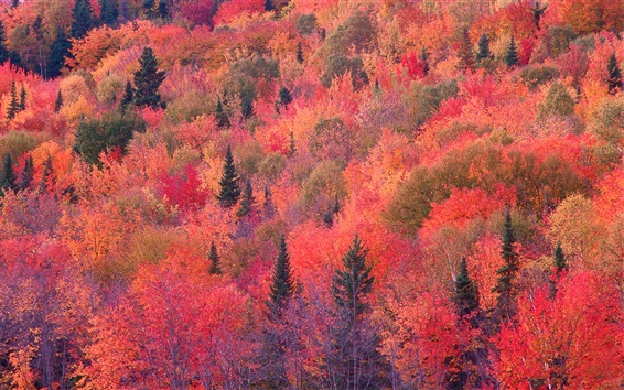 Wallpaper Autumn red forest, trees, slope