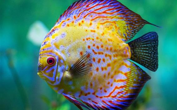 Wallpaper Beautiful discus fish, aquarium
