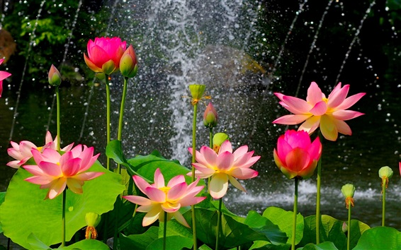 Wallpaper Beautiful lotus pond, pink flowers, green leaves