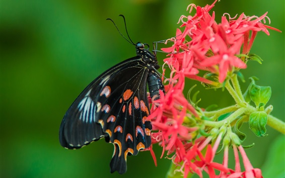 Wallpaper Black butterfly and red little flowers, wings
