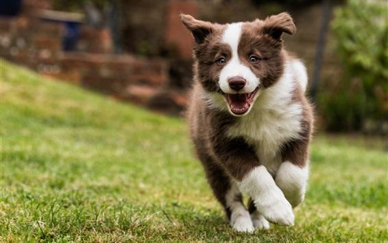 Обои Бордер-колли, собака ходьба, трава
