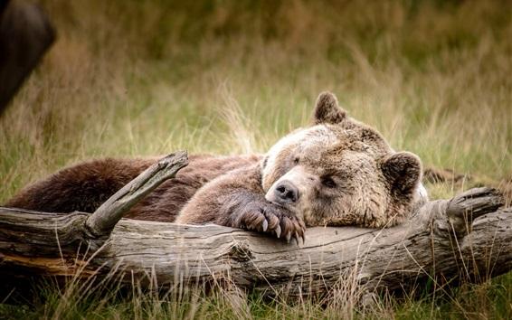 Papéis de Parede sono Urso de Brown na grama