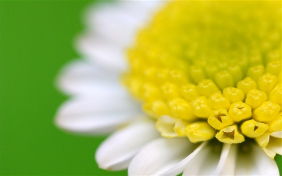 Wallpaper Chamomile macro photography, white petals, yellow pistil, green background