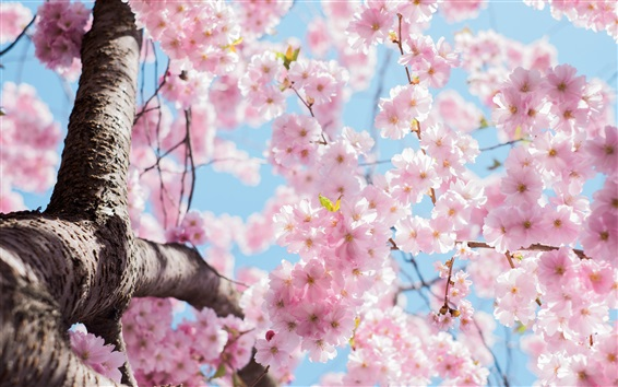Wallpaper Cherry flowers blossom, tree, twigs, spring