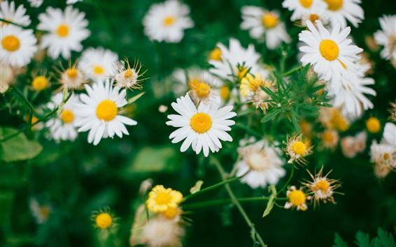 Wallpaper Daisies flowers field, white petals
